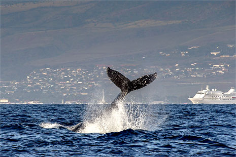 Maui Condo Rentals Whale Watching